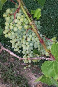 2014-07-21 Gervasi's Vineyard