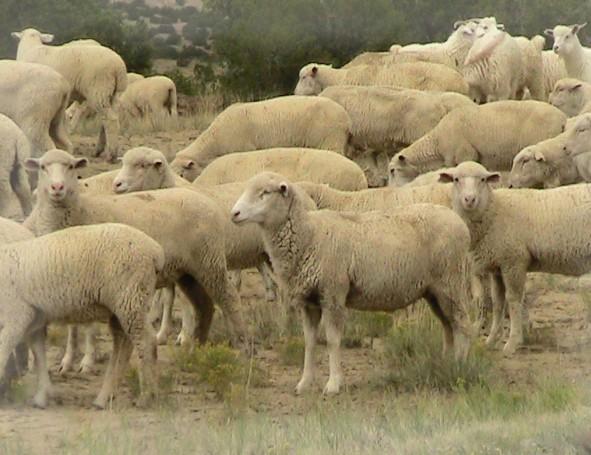 wolves_sheep